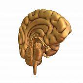 foto of frontal lobe  - Half a brain displayed - JPG
