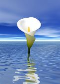 picture of calla lily  - a photo of a cala lily in the water - JPG