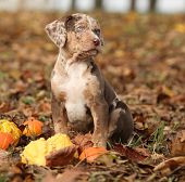 picture of catahoula  - Adorable Louisiana Catahoula puppy with pumpkins in Autumn - JPG