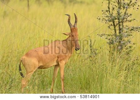 Hartebeest In The Savannah
