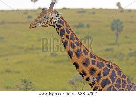 Rothchild Giraffe In The Savannah