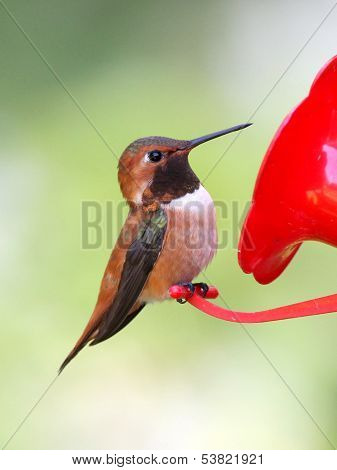 Rufous Hummingbird Perched on a Feeder