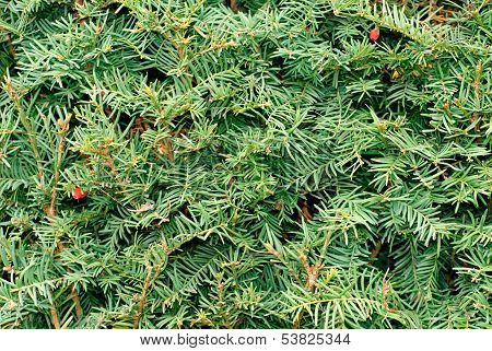 Yew (taxus Baccata) Green Leaves And Red Fruit Background