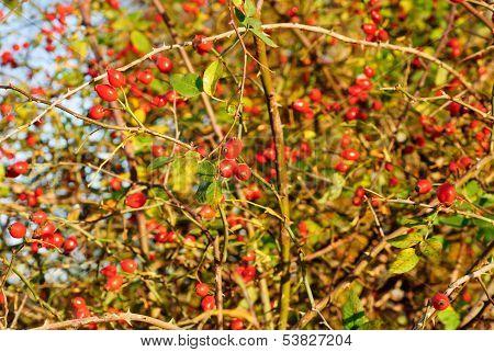 Rosa Canina - Dog Rose Plant As Background