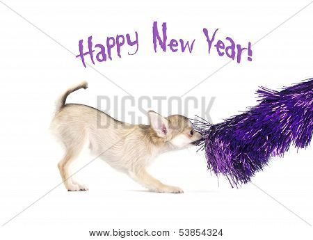 playful chihuahua puppy with shiny purple tinsel