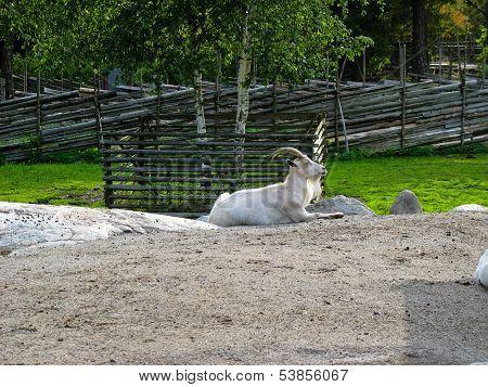 Goat In Skansen