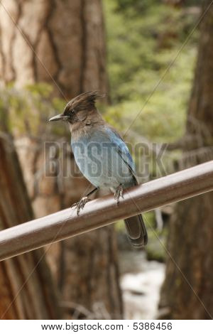 Steller's Jay (bluejay) In Tree