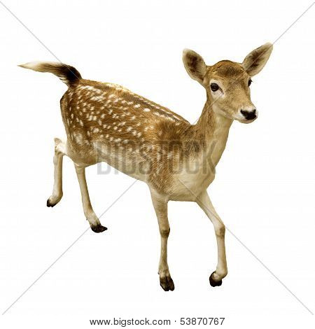 Female Sika Deer Isolated