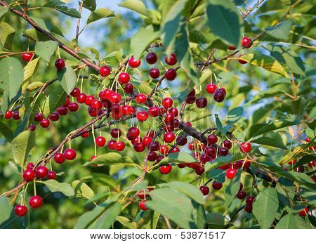Sweet Cherries With Water Drops Hanging On The Cherry Tree Branch