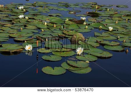 Bobber In The Blue Water Against Lilies