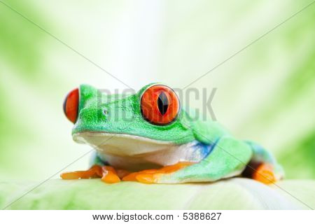 Frog On A Leaf Close Up