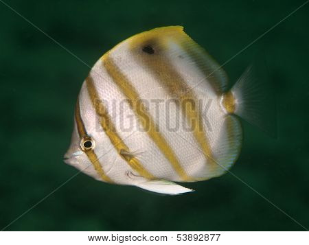 Sixspine Butterflyfish