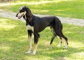 pic of greyhounds  - A side view of a healthy beautiful grizzle black and tan Saluki standing on the lawn looking happy and cheerful. Persian Greyhound dogs are slim and slender with a long narrow head.