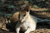picture of wallaby  - Australian native wallaby relaxing in the bush - JPG