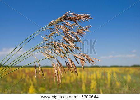 Grass Ear