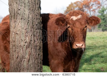 Cow with Cold