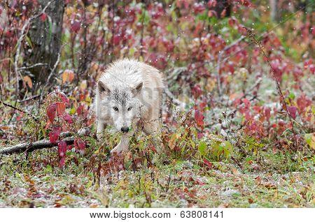 Blonde Wolf (Canis lupus) Runs Through Sumac