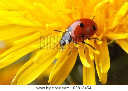 Ladybird On Dandelion Flower Macro