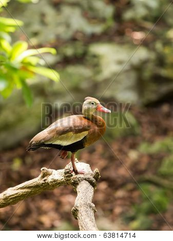 Black-bellied Whistling  Tree Duck