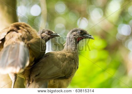 Portrait Of Crested Guan Birds
