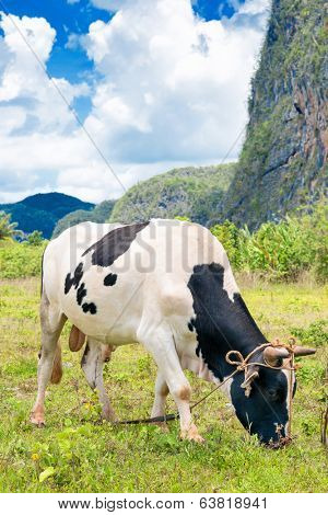 Bull grazing at the Vinales Valley in Cuba, a tourist landmark on the island