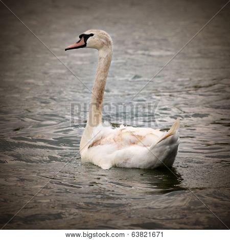 Young Swan (Cygnus olor).