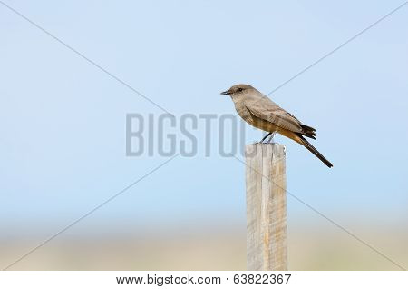 Say's Phoebe On Post