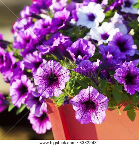 Colorful multiflora petunias in an orange wooden planter or window box.