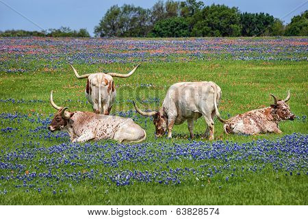 Texas Longhorn Cattle In Bluebonnets
