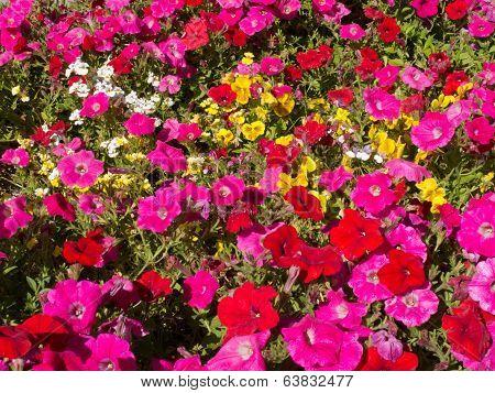 Petunia Flower Garden Nature Background Pattern