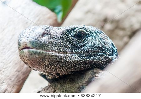 Dragon Lizzard Portrait Closeup