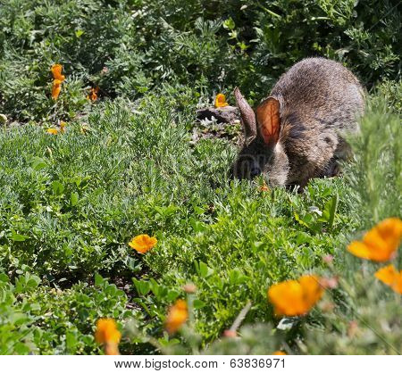 Wild Cottontail  Brush Rabbit In Spring Grass