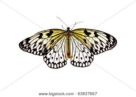 Butterfly Idea Leuconoe