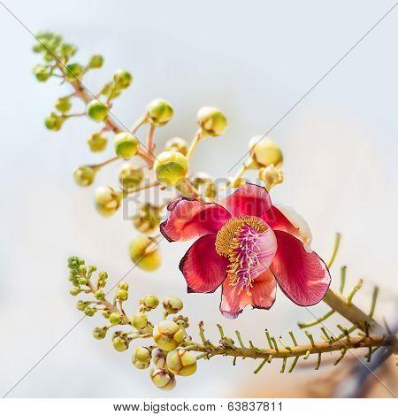 Couroupita Flower