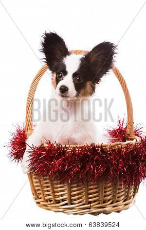 Papillon Puppy Sitting In Christmas Basket On Isolated White