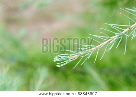 Himalayan Cedar Shoot