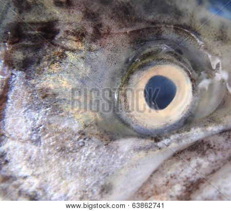 Eye Of Trout