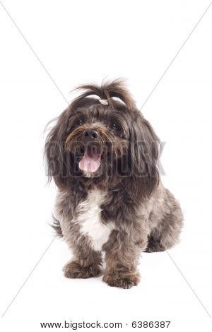 Havanese Dog Standing With Mouth Open