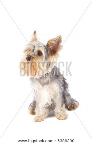 Uncombed Puppy Yorkshire Terrier