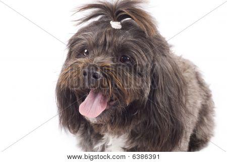 Black Bichon Puppy