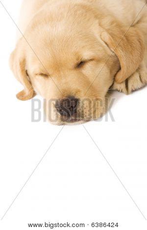 Sleepy Puppy Labrador - Closeup
