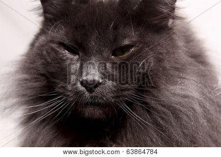 Longhair Cat