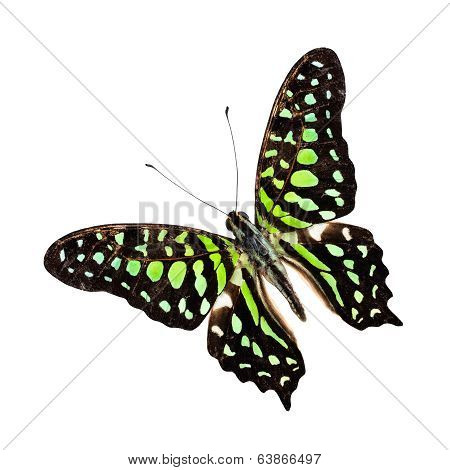 Great Tailed Jay Butterfly (graphium Agamemnon) Upper Wing Profile Isolated On White Background