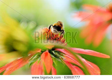 Echinacea Purpurea Flower And A Working Gadfly