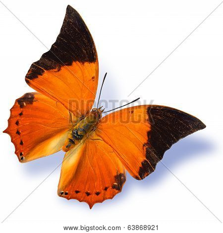 The Common Tawny Rajah Butterfly Flying With Soft Shadow Isolated On White Background
