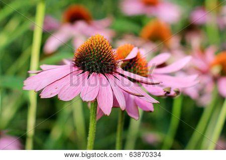 Echinacea Flower ( Cone Flower )