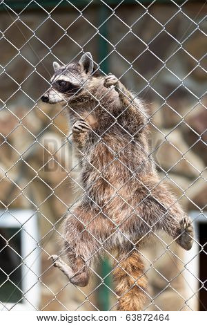 Raccoon (procyon Lotor) In Zoo