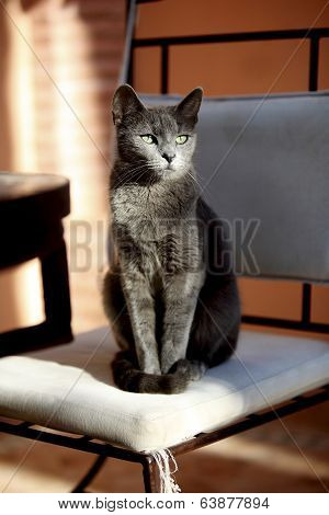 Carthusian Cat In The Sun