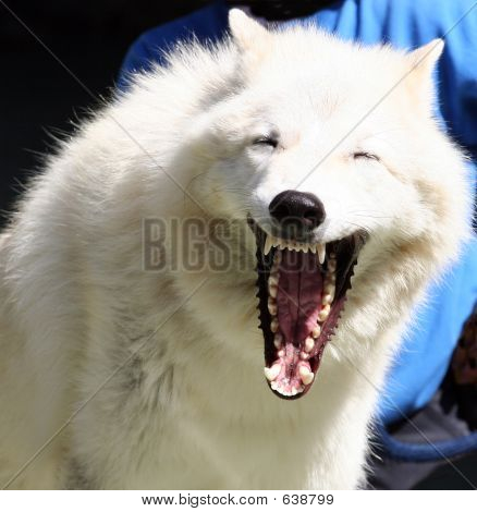 Lobo gruñendo de nieve