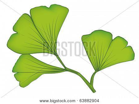 Ginkgo Leaves. Vector illustration of gingko biloba leaves.